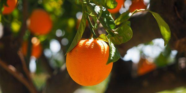 Historia de la naranja: desde china hasta hoy